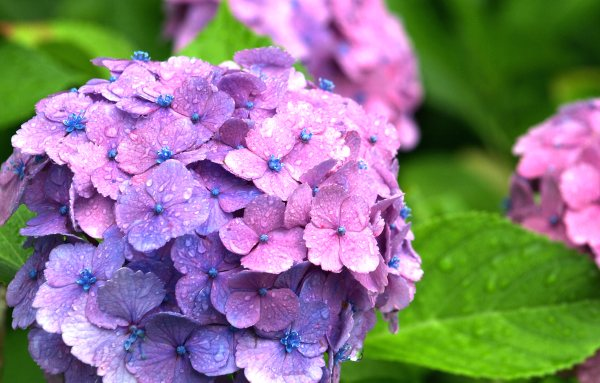 Hydrangea - Courtesy of inoc